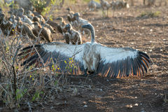 Vulture Group Royalty Free Stock Photos