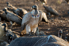 Vulture Group Royalty Free Stock Image