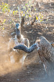 Vulture Group Stock Photography