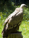 Vulture, Gyps fulvus Stock Photo