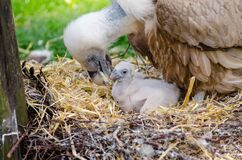 Vulture and Hatchling on Brown Nest Stock Image