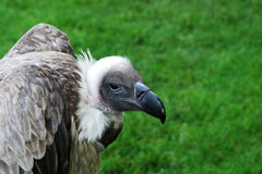 Vulture Head Royalty Free Stock Photo