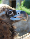 Vulture head Stock Photography