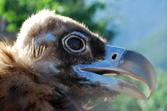 Vulture head Royalty Free Stock Photography