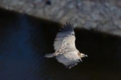 Vulture, Hoces del Duraton Stock Images
