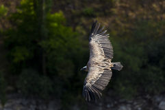 Vulture, Hoces del Duraton Royalty Free Stock Photography