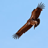 Vulture hovers in the blue sky Stock Image