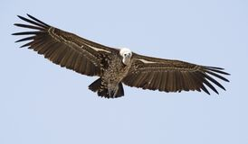 Free Vulture In Full Flight. Royalty Free Stock Photo - 182660775