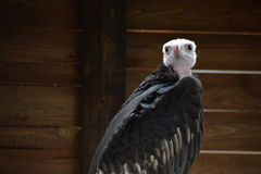 Vulture inside its shelter is waiting for the rain Stock Image