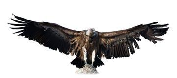 vulture Isolado sobre o branco Imagens de Stock