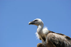 Vulture isolated in blue backg. Round royalty free stock photo