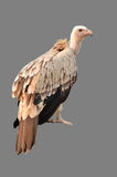 Vulture isolated Stock Images