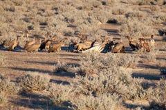 Vulture and Jackals Feeding Dead Zebra, Etosha National Park, Namibia Royalty Free Stock Photography