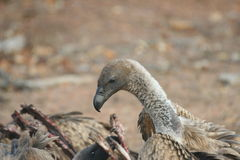 Vulture after the kill. A Vulture in the Kruger National Park cleaning up after Lions killed a Buffalo stock image