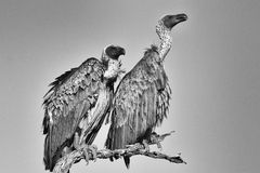 Vulture at the kruger national park south africa Stock Photo