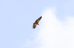Vulture in Kruger Park South Africa Stock Images