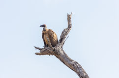 Vulture in Kruger Park South Africa Royalty Free Stock Photo