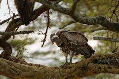 Vulture, Lake Nakuru, Kenia. Vulture with open bill waiting in tree. The kill of a couple lions is on the ground beneath the vulture. Lake Nakuru, Kenia Royalty Free Stock Photos