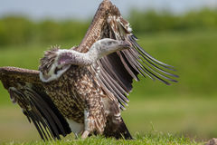 Vulture on land with twisted long neck and head turned. Ruppells Stock Photo