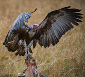 Vulture landing on carcass. This vulture was photographed in the Kruger national Park standing on a Buffalo carcass Stock Image