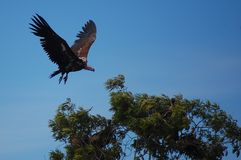 Lappet-faced Vulture landing on tree Stock Image