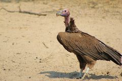 Vulture, Lappet-faced - African Grim Reaper Royalty Free Stock Images