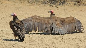 Vulture, Lappet Faced - Wild Bird Background from Africa - Fearsome Royalty Free Stock Photo