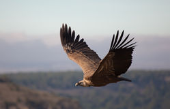 Vulture in las Hoces del Duraton Royalty Free Stock Images