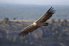 Vulture in las Hoces del Duraton Stock Images