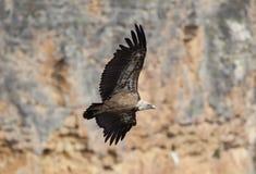 Vulture in las Hoces del Duraton, Segovia Royalty Free Stock Photography
