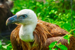 Vulture lies in wait in the grass Royalty Free Stock Photo