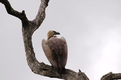 Vulture on Look-Out Stock Photography