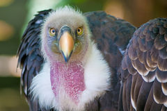 Vulture look to you with ruthless eyes Stock Photos