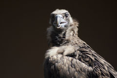 Vulture looking Stock Photography