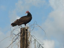 Vulture looking for food stock photography