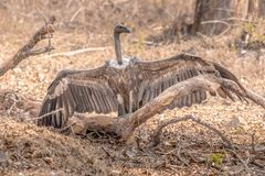 Vulture looking for a prey at the kabini forest area sitting. During jeep safari stock photography
