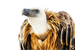 Vulture looks into the distance. On a white background Stock Photography