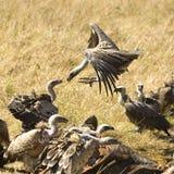 Vulture at Masai mara Kenya Stock Image