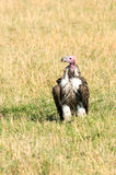Vulture, masai mara kenya Royalty Free Stock Photos