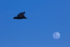 Vulture and moon Royalty Free Stock Photo