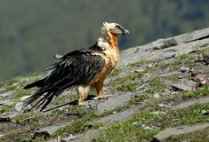 Vulture in the mountains Royalty Free Stock Images