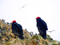 Vulture native to Peru. Snapped these vultures in Paracas in Peru. Commonly known as the 'poor mans galapagos Stock Photography
