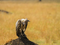 Vulture in nature wildlife kenya Royalty Free Stock Image