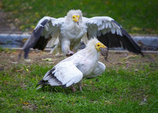 Vulture (neophron percnopterus) attacking and trying to take away the prey Stock Photo