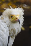 Vulture - Neophron percnopterus Royalty Free Stock Photos