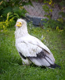 Vulture (neophron percnopterus) on the green grass Stock Photography