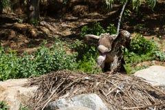 Vulture nesting Stock Image