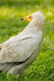 Vulture. Nice white vulture (Neophron percnopterus) on a grass Royalty Free Stock Images