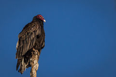 Vulture on an oak tree. American Vulture perched on the top of an old oak tree Royalty Free Stock Photos