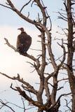 Vulture - Okavango Delta - Moremi N.P. Stock Images